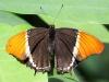 Sommerfugl I