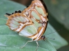 Sommerfugl II