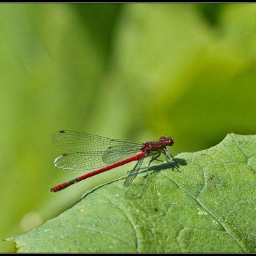 Vandnymfer og guldsmede