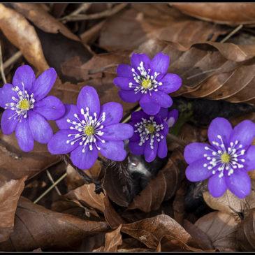 Forår og anemoner