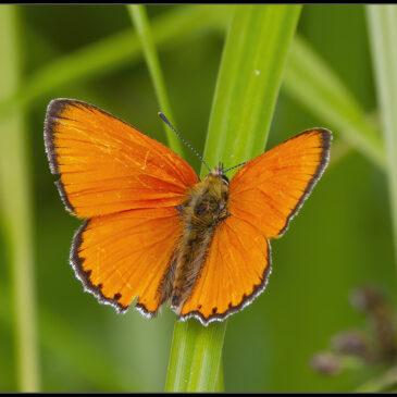 Skov, enge og masser af sommerfugle